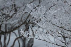 The ice coating on the trees at Mt.Gozaisyodake Mie, Japan.
