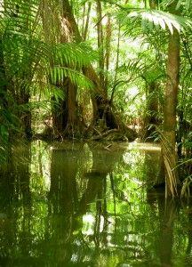 Mangrove trees in the Amazon rainforest
