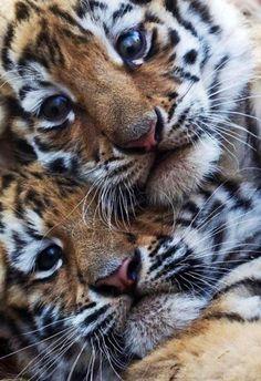 Tigers!!