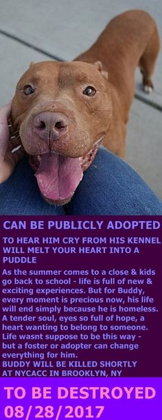 SAFE 8/28/17 by Bellas Bella's NY Bullies Inc. --- Brooklyn Center My name is BUDDY. My Animal ID # is A1122023. I am a neutered male tan am pit bull ter mix. The shelter thinks I am about 5 YEARS old. I came in the shelter as a STRAY on 08/14/2017 from NY 11205, owner surrender reason stated was STRAY. http://nycdogs.urgentpodr.org/buddy-a1122023/