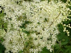 mädesüß / Filipendula, an old remedy against headaches. The Wikings did use it to aromatize Met (honey wine) the salicyc acid in the herbs prevents also hangovers. Clever Wikings!