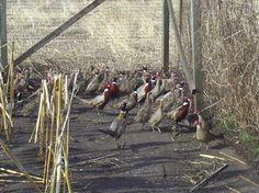 pheasant coop ideas | Chukar/ Bobwhite Quail fly pen built 2007