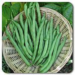 Organic Blue Lake FM-1 Pole Bean...3 sisters