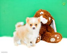 puppies Pomsky Puppies For Sale Pets Pinterest