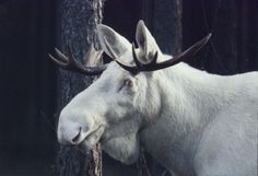 Albino moose! Normally, only 1 in 100,000 moose have the albino trait, which is recessive.