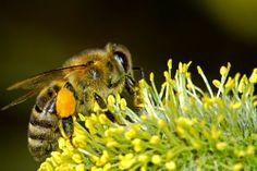 News Curiose: Ricerca: che effetto fa la cocaina alle api?