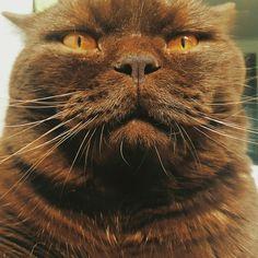 oh that morning look :) cuddles?  #смешнойкот #путешествиескотом #cat #котейка #petstagram #ilovemycat #instagramcats #catoftheday #lovecats #chillin #милаш #instacat #britishshorthair #britishcat  #cutecats #британец #британскийкот #милыйкот #британецкот #шоколадныйкот #коты #красивыйкот #толстыйкот #злойкот #funny #funnyanimals