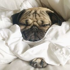 These sheets have claimed me as one of there own and I'm fine with that- Doug The Pug #pug