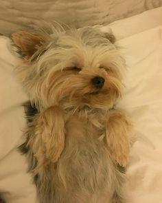 Teddy . . . loves belly rubs.  TGIF pawfriends . #teddythetinyterrier #yorkie #yorkshireterrier #dog #bellyrubs #tgif by teddy_the_tiny_terrier