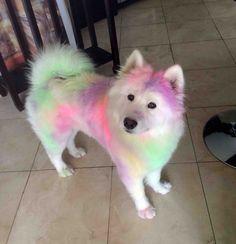 Un chien Samoyède après une course de couleurs