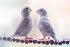 A-Storybook-Love-Between-Pastel-Parrotlets-5a83f998329b6__880.jpg