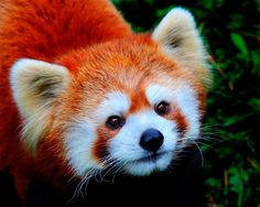Visit the Red Panda's at the Fort Wayne Children's Zoo! Fluffy Animals, Animals And Pets, Baby Animals, Cute Animals, Red Panda Cute, Panda Love, Cutest Animals On Earth, Lovely Creatures, Baby Puppies