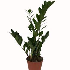 Ofis Çiçekleri, Ofis Bitkileri, Çiçek ve Saksılar | Online Ofis Çiçekleri, Ofis Bitkileri ve Saksı Satışı 21st, Plants, Plant, Planting, Planets