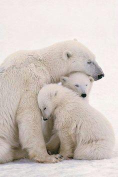 Polar momma and cubs