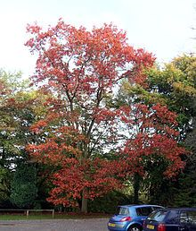 Quercus rubra, commonly called northern red oak or champion oak, (syn. Quercus borealis), is an oak in the red oak group (Quercus section Lobatae). It is a native of North America, in the eastern and central United States and southeast and south-central Canada.