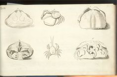 Herbst Crabs & Lobsters Plate XII