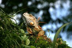 Iguanas or Lizards, Belize Animals, Caribbean Critters