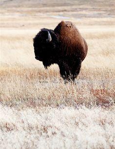 Buffalo..
