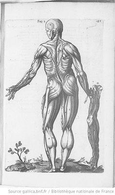 Planche p.187 : anatomie humaine. Les muscles, de dos. Du Laurens, André  (1558-1609 https://pinterest.com/pin/287386019946881538/), Francfort,1600. Historia anatomica humani corporis et singularum eius partum multis: https://pinterest.com/pin/287386019947522015.