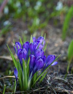Kevätsahramit eli krookukset kukkivat sinivioletein, keltaisin tai valkoisin kukin. Ne ovat melko joustavia ja sietävät kesäkosteutta, kuivuutta ja jopa savimaata.