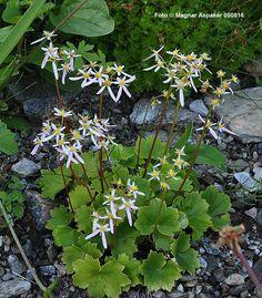 Saxifraga corthusifolia