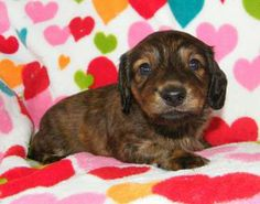 Red Brindle longhair miniature dachshund puppy. Can't handle the cuteness! Available! :)