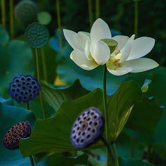 .Lotus