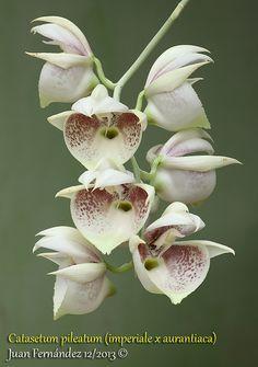 Catasetum pileatum - Flickr - Photo Sharing!