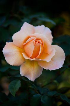 ジャストジョイの薔薇