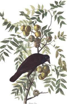"""High-resolution images of all 435 Audobon """"Birds of America"""" now online,  downloadable http://www.audubon.org/birds-of-america"""