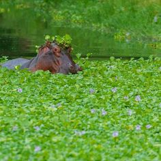 I love hippos. Its the one creature where the sounds it...
