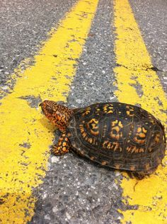 Always stop and help Box Turtles that are in the road, if you can