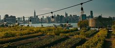 As seen in the movie The Dictator - This Brooklyn NY urban garden is a real rooftop farm for many area restaurants! May be the largest roof top farm in the world. (Not sure?) In any event, we LOVE the idea and concept here. Bring it on throughout the world please as all local restaurants should be doing much more of this! (Perhaps we could get McDonalds, Chick-fil-A, Wendys or Burger King to start growing at least their lettuce, tomatoes and onions on theirs!! Tell them!!!)