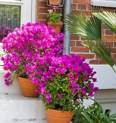 Bougainvillea - A magical exotic plant for the garden Bougainvillea Trellis, Big Plants, Exotic Plants, Garden Plants, Flowering Bonsai Tree, Flowering Vines, Garden Landscape Design, Small Garden Design, Landscape Plans