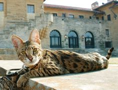 Add this beautiful baby to my family.  Savannah Cat (half wild) ... larger than a regular cat & more of a doglike temperament ♥