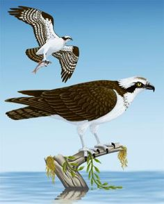 Osprey - Beautiful bird of prey that can be seen all over north Florida