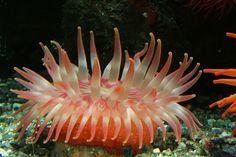 Dahlia anemone (Urticina eques).