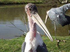 One of our Marabou Storks posing for the Camera. Guess who this could be? Storks, Pose For The Camera, Survival, Wildlife, Poses, Education, Animals, Figure Poses, Animales