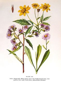 Aster Daisy 1954 Wildflower Vintage Book Plate Print