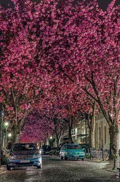 Cherry blossom street, Bonn