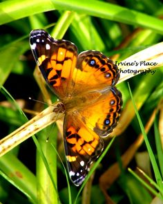 Butterfly bright, Photo by Rachael Irvine, Irvine's Place Photography