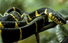 Tropical Rainforest Snakes | malaysia snakes nature tropical rainforest reptiles mangrove snake ... Cool Snakes, Animals Beautiful, Tropical, Creatures, Higher Design, Spiders, Frogs, Birds, Image