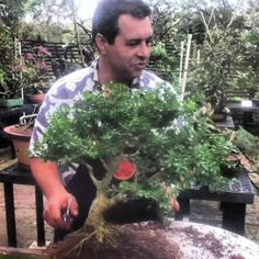 One of our Bonsai volunteer curators taking care of a #boxwood #bonsai :) #morikami