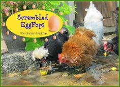 """This """"recipe"""" to help chickens beat the heat will earn you credit toward your master's degree from Crazy Chicken Lady University. If your friends and family are not yet convinced that you have lost your chicken-lovin' mind, making Scrambled EggPops will do the trick! Chicken Chick, Chicken Lady, Chicken Feed, Healthy Chicken, Chicken Coops, Keeping Chickens, Raising Chickens, Pet Chickens, Chickens Backyard"""