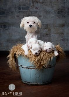 Maltese puppies and mom