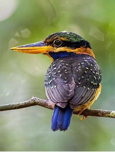 Rufous-collared Kingfisher (Actenoides concretus) is a species in the Alcedinidae family. It is found in Indonesia, Malaysia, Singapore and Thailand.