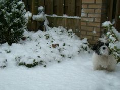 A cute little dog playing in the snow.