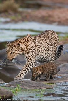 'Hunting lessons from mom' A leopard teaching its cub how to hunt! pic.twitter.com/yDMfhizYZr