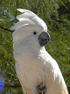 cocatoo | profile birds name umbrella cockatoo scientific name cacatua alba ...