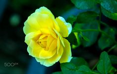 YELLOW ROSE OF TEXAS!! by S R NAIRS on 500px
